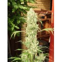 Bub-Kush - 10 regular seeds