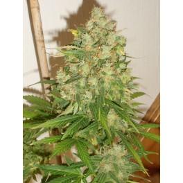Candy (Auto) - 10 regulære frø